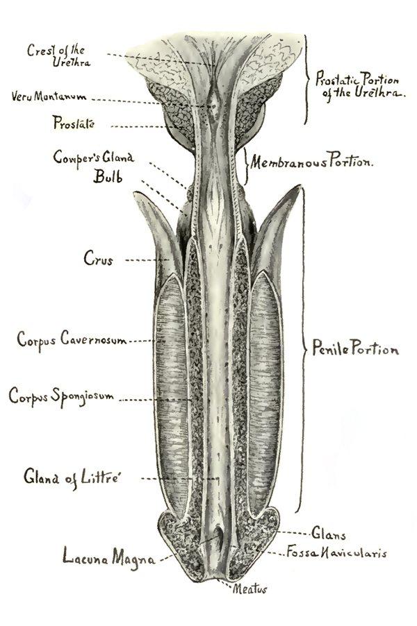 Anatomía de la Uretra - Consulta Urología Alfredo Gil-Vernet